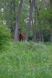 Wild horse in forest. Wild horse in green forest Stock Photos