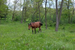 Wild horse in forest. Wild horse in green forest Stock Images