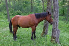Wild horse in forest. Wild horse in green forest Royalty Free Stock Photos