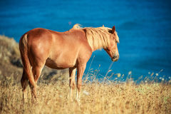 Wild horse in front of the sea at sunrise Royalty Free Stock Image