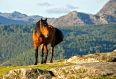 A wild horse in the  Geres park. In Portugal royalty free stock photography