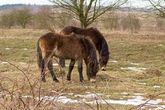 Wild horse on grassland. Milovice Czech republic royalty free illustration