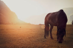 Wild horse is grazed on a meadow. In the early morning Stock Photos