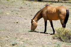 Wild horse grazing Royalty Free Stock Photos