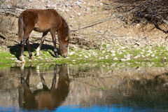 Wild Horse Grazing Along River Royalty Free Stock Photo