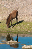 Wild Horse Grazing Along the Salt River Royalty Free Stock Image