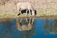 Wild Horse Grazing Stock Photos