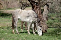 Wild Horse Grazing in Arizona Royalty Free Stock Image