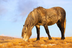 Wild horse grazing grass Royalty Free Stock Photo