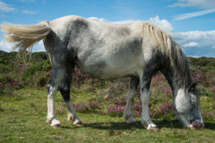 Wild horse grazing on heather moors in National Park Stock Image