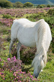 Wild horse grazing on heather moors in National Park Royalty Free Stock Images