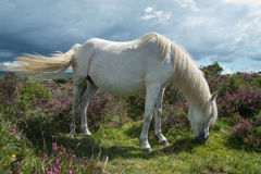 Wild horse grazing on heather moors in National Park Royalty Free Stock Photos