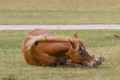 Wild horse. Grazing on the Italian Apennines Sibillini Stock Photos