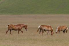 Wild horse. Grazing on the Italian Apennines Sibillini Royalty Free Stock Image