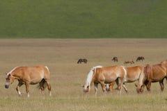 Wild horse. Grazing on the Italian Apennines Sibillini Stock Photo