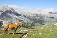 Wild horse grazing in mountain meadows Dolomiti FANES Stock Photos