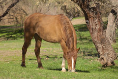 Wild Horse Grazing Stock Images