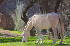 Wild Horse Grazing Stock Photography