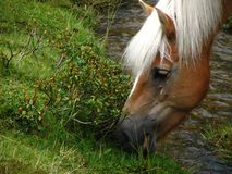 Wild horse grazing next to a creek Royalty Free Stock Photos