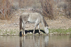 Wild Horse Grazing by the Salt River Stock Photo