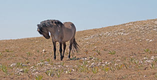 Wild Horse Grulla Band Stallion arching his neck on Sykes Ridge in the Pryor Mountains in Montana – Wyoming Stock Image