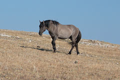 Wild Horse Grulla Gray colored Band Stallion proudly walking up Sykes Ridge in the Pryor Mountains in Montana Stock Photos