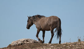 Wild Horse Grulla Gray colored Band Stallion on a ridge above a wild horse watering hole in the Pryor Mountains in Montana Stock Images