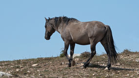 Wild Horse Grulla Gray colored Band Stallion on a ridge above wild horse watering hole in the Pryor Mountains in Montana – Wyomi Royalty Free Stock Photography