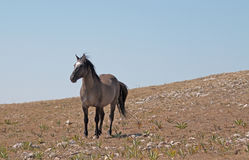 Wild Horse Grulla Gray colored Band Stallion standing his ground on Sykes Ridge in the Pryor Mountains in Montana – Wyoming Royalty Free Stock Images