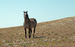 Wild Horse Grulla Gray colored Band Stallion on Sykes Ridge in the Pryor Mountains in Montana – Wyoming Royalty Free Stock Images