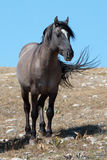 Wild Horse Grulla Gray colored Band Stallion on Sykes Ridge in the Pryor Mountains in Montana – Wyoming Royalty Free Stock Photography