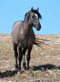 Wild Horse Grulla Gray colored Band Stallion on Sykes Ridge in the Pryor Mountains in Montana – Wyoming Stock Photography