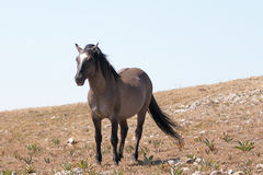 Wild Horse Grulla Gray colored Band Stallion with tail blowing in the wind on Sykes Ridge in the Pryor Mountains in Montana Stock Photography