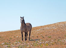 Wild Horse Grulla Gray colored Band Stallion with tail blowing in the wind on Sykes Ridge in the Pryor Mountains Royalty Free Stock Images