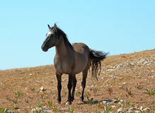 Wild Horse Grulla Gray colored Band Stallion with tail blowing in the wind on Sykes Ridge in the Pryor Mountains Stock Images