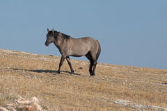 Wild Horse Grulla Gray colored Band Stallion walking along Sykes Ridge in the Pryor Mountains in Montana – Wyoming Royalty Free Stock Photography