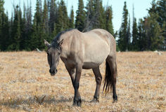 Wild Horse Grulla Gray colored Mare on Sykes Ridge in the Pryor Mountains in Montana Royalty Free Stock Photography