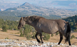 Wild Horse Grulla Gray colored Mare walking along  Sykes Ridge above Teacup Bowl in the Pryor Mountains in Montana Stock Image