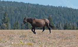 Wild Horse Grulla Gray and dusk colored Mare on Sykes Ridge in the Pryor Mountains in Montana – Wyoming Stock Image