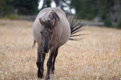 Wild Horse - Grulla Gray pregnant mare walking in the afternoon in the Pryor Mountains Wild Horse Range on the border of Mon Royalty Free Stock Photography