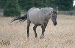 Wild Horse - Grulla Gray pregnant mare walking in the afternoon in the Pryor Mountains Wild Horse Range on the border of Mon Stock Photo