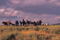 Wild Horse Herd. A herd of wild horses on the open range Royalty Free Stock Image