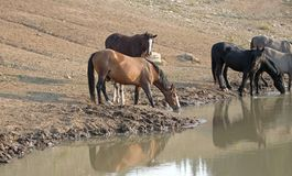 Wild Horse herd / band with baby colt drinking at the waterhole in the Pryor Mountains Wild Horse Range - Montana USA. Wild Horse herd / band with baby colt Royalty Free Stock Photos