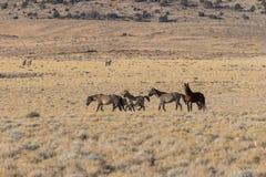 Wild Horse Herd. A herd of wild horses in the Utah desert Stock Image