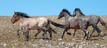 Wild Horse herd of mustangs running in the Pryor Mountains of Montana Stock Image