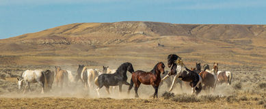 Wild Horse Herd. Panoramic Composition of Wild Horses On High Desert of McCullough Peaks Wild Horse Herd Management Area, Wyoming Royalty Free Stock Photos