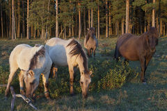 Wild horse herd on pasture Stock Images