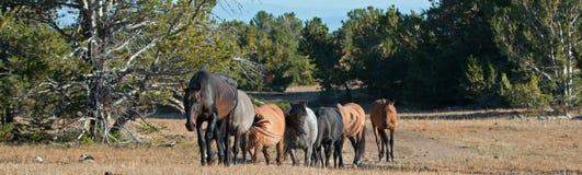 Wild Horse Herd in the Pryor Mountain Wild Horse Range in Montana - Wyoming Stock Photography