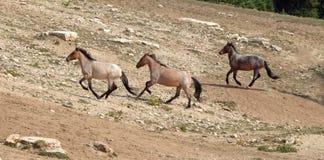 Wild Horse Herd running uphill in the Pryor Mountain Wild Horse Range in Montana - Wyoming Royalty Free Stock Photography