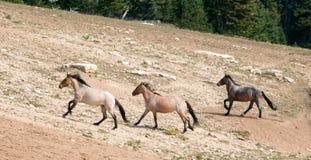 Wild Horse Herd running uphill in the Pryor Mountain Wild Horse Range in Montana - Wyoming Royalty Free Stock Photo